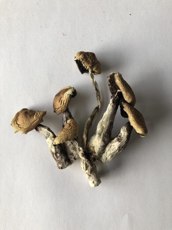 Treasure Coast Gulf Coast Cubensis Shrooms BCS